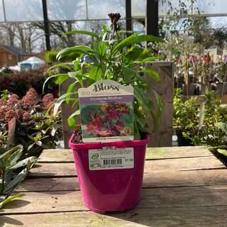 Erysimum Winter Orchid