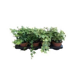 Ivy Large