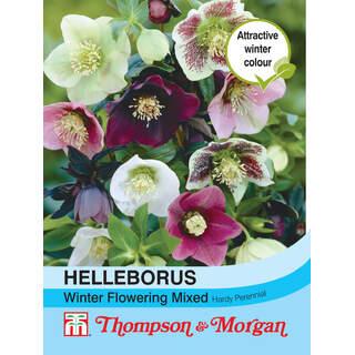 Helleborus Winter Flowering M