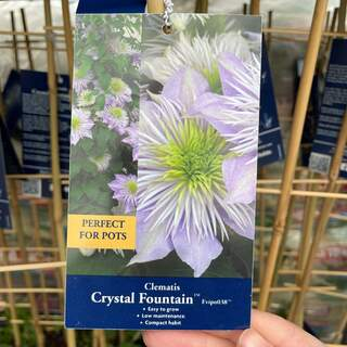 Clematis Crystal Fountain Evipo
