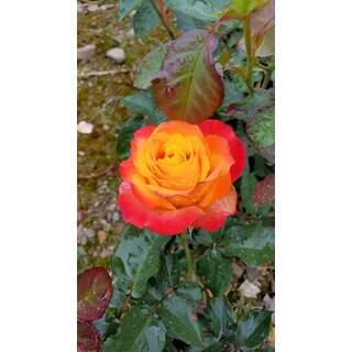 Rosa Antigua