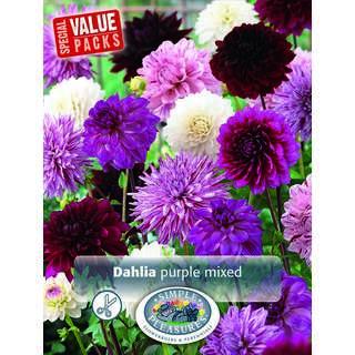 Dahlia Purple Mixed 3