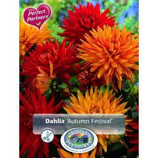 Dahlia Autumn Festival Collection 2