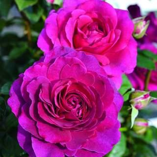 Rosa Timeless Purple