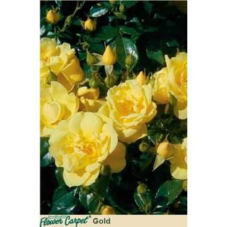 Flower Carpet Gold Rosa