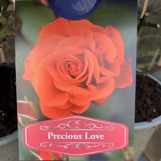 Rosa Precious Love