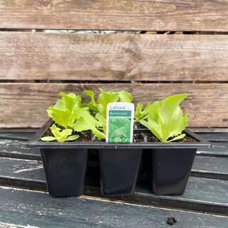 Lettuce 12 Pack